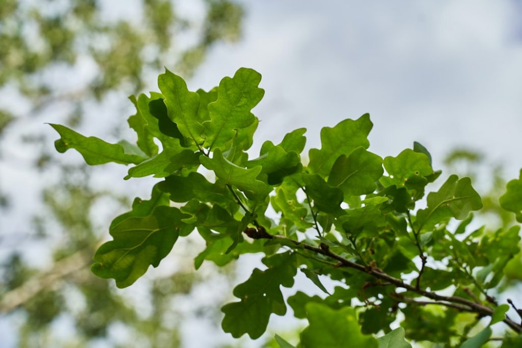 Native Oak could be one of the species encouraged to be afforested in the UK.